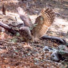 A Mexican spotted owl captures a mouse, Sacramento Mountains, New Mexico (Photo by Darrell Apprill).