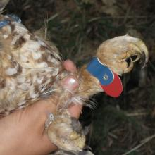 Scientists use plastic color bands to allow for visual identification of individual owls