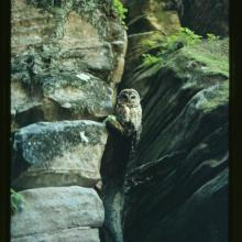 Mexican spotted owl perches on a log wedged into a cliff alcove, Walnut Canyon, Arizona.