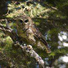 Mexican spotted owl, Sacramento Mountains, New Mexico (Photo by unknown RMRS employee).