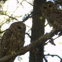 A pair of Mexican spotted owls, Sacramento Mountains, New Mexico. Note the color bands visible on the left legs of both owls. These bands allow scientists to visually identify individual owls (Photo by unknown RMRS employee).