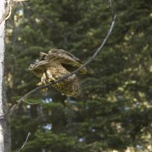 A Mexican spotted owl taking off form a perch, Sacramento Mountains, New Mexico. Note the color band visible on the owls' left leg, and the metal band visible on the right leg. These bands allow scientists to identify individual owls (Photo by unknown RMR