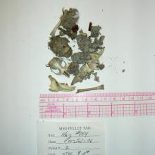 Figure 3. Prey remains (skulls, bones, fur, and insect parts) found in a regurgitated owl pellet. These remains can be used to identify which species are preyed upon by owls (Photo by Todd Rawlinson).