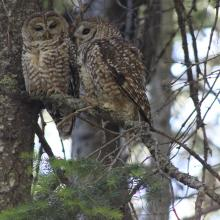 A pair of Mexican spotted owls, Sacramento Mountains, New Mexico (Photo by unknown RMRS employee).