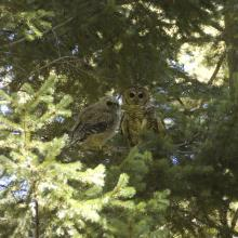 Adult (right) and juvenile (left) Mexican spotted owls, Sacramento Mountains, New Mexico. Photograph by unknown RMRS employee.