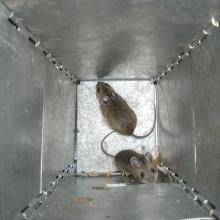 A pair of deer mice captured in a live trap during a study of prey species eaten by Mexican spotted owls, Sacramento Mountains, New Mexico (Photo by unknown RMRS employee).