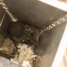 A Mexican woodrat captured in a live trap during a study of prey species eaten by Mexican spotted owls, Sacramento Mountains, New Mexico. This individual has been previously captured and marked with ear tags.