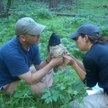 RMRS scientists band a captured Mexican spotted owl, Sacramento Mountains, New Mexico (Photo by unknown RMRS employee).