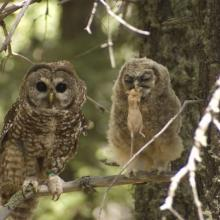 Adult and juvenile Mexican spotted owls, Sacramento Mountains, New Mexico. The adult has just passed a mouse to the owlet. Note the green color band on the left leg of the adult owl. These bands allow scientists to visually identify individual owls (Photo