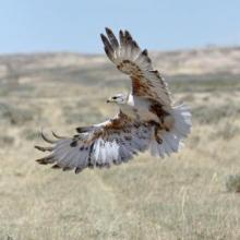 Ferruginous hawks are the largest member of the Buteo genus in the Wyoming sage-steppe.
