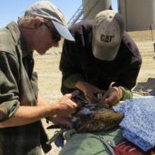 John Squires, Research Scientist, and Bob Wiltzen, RMRS technician, instrumenting a ferruginous hawk with a solar GPS transmitter.