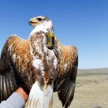 Ferruginous hawk instrumented with a solar GPS transmitter.