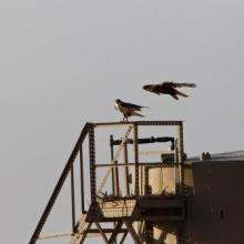 Ferruginous hawk nesting on an oil storage tank with a visible GPS transmitter antenna.