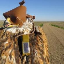 Hooded ferruginous hawk instrumented with a solar GPS transmitter.
