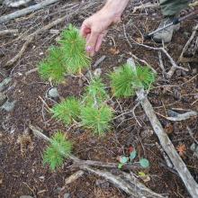 Whitebark pine seedling in a lodgepole pine/Douglas-fir stand, White Cloud Mountains, Sawtooth National Forest, Idaho