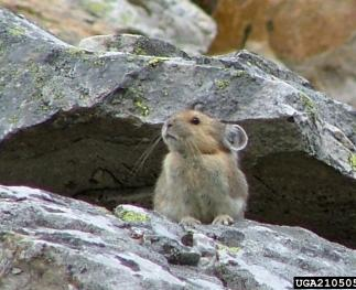 American pika (photo by Michael Megnak, Univeristy of Georgia, Bugwood.org).