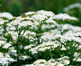 Native bee polinating yarrow plants (photo by Lawrence Lam).