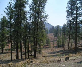 Conditions after a restoration treatment in a ponderosa pine forest on the Coconino National Forest.