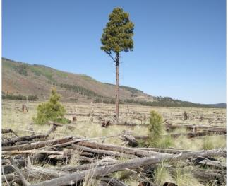 A single standing tree surrounded by mostly fallen, dead trees and grass, and a few seedlings.