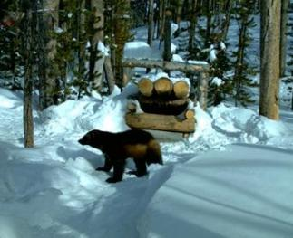 Remote camera captures a wolverine as it approaches a researcher's trap.