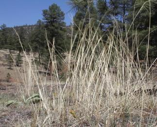 Understory grasses and forbs are a key feature of restored ponderosa pine ecosystems (photo by Becca Robinson).