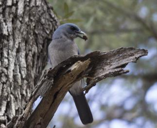 An image of a scrub jay with food in its beak, perched on a broken branch