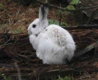 Hares may be particularly vulnerable to predators when their coloration does not match the background. Changes in the timing of snow cover could affect their survival (credit: L. Scott Mills et al., PNAS Early Edition [2013]).
