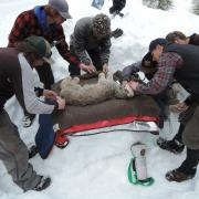 Jake Ivan (CO Parks & Wildlife) and technicians instrumenting an anesthetized Canada lynx.   (Photo - UpperRGFemale_Handling)