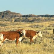 Cattle on western rangelands