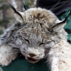 Close-up of an immobilized Canada lynx just removed from a trap, Rio Grande National Forest, 2015.