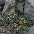 San Francisco Peaks ragwort (Packera franciscana), a single-mountain endemic plant species found only in the San Francisco Peaks, in northern Arizona.  Photo credit: Carolyn Sieg