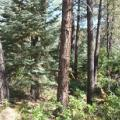Dense dry-mixed conifer forest
