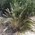 "Squirreltail (Elymus elymoides) is considered a ""workhorse"" species in native plant restoration (photo courtesy of National Park Service)."