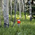 A researcher in protective equipment measures the diameter of a tree.