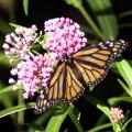 Milkweed plants are an important host species for both monarch larvae and adult butterflies.