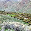 An example of riparian areas assessed by this project. This photograph shows Bear Valley Creek on the Salmon-Challis National Forest with a shallow gradient and wide valley bottom meandering through depositional material. Photo by D.M. Smith, USFS.