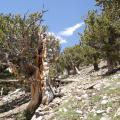 High-elevation bristlecone pines exhibiting characteristic partial cambial dieback and gnarled physiognomy at Bristlecone Park, Colorado (3676 m elevation).