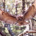 A Mexican spotted owl (photo by Darrell. L. Apprill).