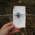 American black bear hair sample collected at a hair snare trap.