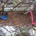 Semiochemicals applied to a spruce to prevent spruce beelte attacks