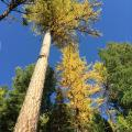Looking up at western larches changing color.