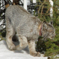 Canada lynx on the Rio Grande National Forest, Colorado, 2015