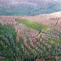 Pine forest infested by the mountain pine beetle.