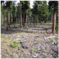 Mulched fuels in a lodgepole pine stand.