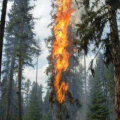 Red mountain pine beetles are dry and highly flammable.