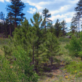 Ponderosa pine regeneration is sensitive to moisture availability and have limited seed dispersal. Ponderosa forest recovery can be delayed following disturbance. Drier and hotter conditions may reduce ponderosa regeneration (Photo by R. Addington, TNC).