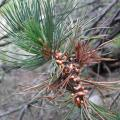 A sporulating white pine blister rust canker from a recent infection on a branch of a susceptible limber pine (photo by Anna W. Schoettle).