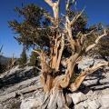 An ancient Great Basin bristlecone pine in the White Mountains, California.