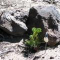 Planting limber pine seedlings near objects, such as this rock, increases successful seedling establishment and survival.