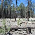 Young ponderosa pines growing in a forest that had burned